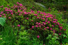 Rhododendron, Chamonix, haute Savoie, Frankreich lizenzfreie stockbilder