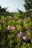 Rhododendron, chauve rond, TN-NC photographie stock libre de droits