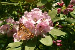 Rhododendron Christmas Cheer with a Wall brown butterfly. Rhododendron Christmas Cheer flowers with a Wall brown butterfly Latin name Lasiommata megera Royalty Free Stock Photos