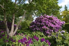 Rhododendron in the city park. Under summer Stock Image