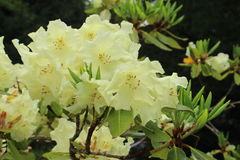 Rhododendron. A cluster of pale primrose yellow coloured bell shaped flowers of a hybrid Rhododendron Royalty Free Stock Photography