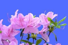 Rhododendron cor-de-rosa Fotografia de Stock Royalty Free
