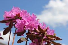 Rhododendron cor-de-rosa fotografia de stock