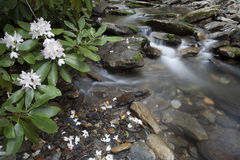 Rhododendron by Creek Stock Images