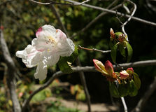 Rhododendron cv. Fragrantissimum Stock Image