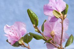 Rhododendron dauricum Stock Photo