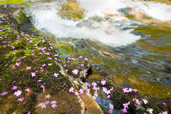 Rhododendron dauricum bagulnik fallen flowers on stream Smolny Stock Image