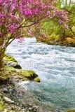 Rhododendron dauricum over river Ilgumen Stock Photos