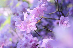 Rhododendron dauricum. Rhododendron branch. Gentle pink rhododendron blossoms in the garden. Beautiful asian spring Stock Images