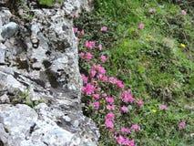 Rhododendron de Bucegi Photographie stock libre de droits