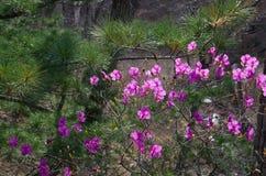 Rhododendron de floraison de ressort à côté de pin coréen vert photos stock