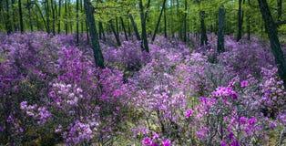 Rhododendron de floraison, rivage du lac Baïkal photo libre de droits