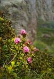 Rhododendron de floraison sauvage Image stock