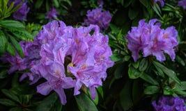 Rhododendron de florescência Foto de Stock