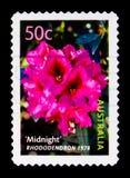 Rhododendron de minuit, serie de cultivars, vers 2003 Image stock