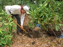 Rhododendron de transplantação do homem Imagem de Stock Royalty Free