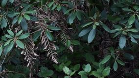 Rhododendron with dead fern and snow falling in garden. On winter day stock video footage