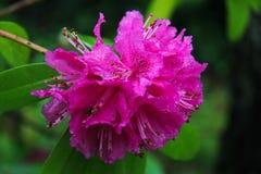 Rhododendron in der Blüte Stockbilder