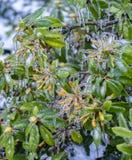 Rhododendron eingeschlossen im Eis Lizenzfreie Stockbilder