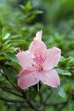 Rhododendron en fleur Photo libre de droits