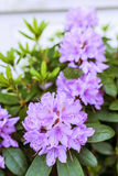 Rhododendron (Ericaceae) Royaltyfri Foto
