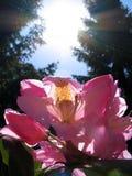 Rhododendron et Sun Image libre de droits