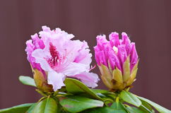 Rhododendron Royalty Free Stock Images