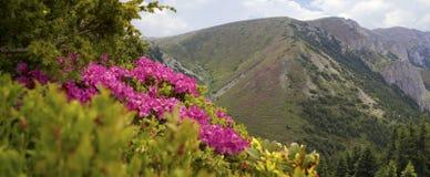 rhododendron för fjärden steg överallt Royaltyfri Bild