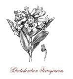 Rhododendron ferrugineum or alpenrose, botanical vintage engravi Royalty Free Stock Photo
