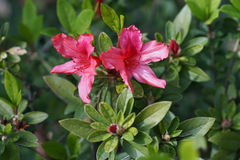 Rhododendron. A few rhododendrons on the green Bush Royalty Free Stock Photos