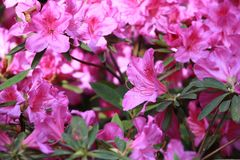 Rhododendron(Rhododendron simsii Planch.) stock photos