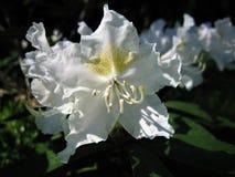 rhododendron Flores brancas Fotos de Stock