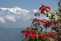 Rhododendron flower with Annapurna mountain range Royalty Free Stock Photography