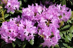 Rhododendron Flower Stock Photos