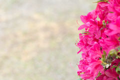 Rhododendron flower Royalty Free Stock Photography