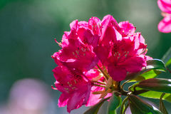 Rhododendron flower Stock Photography