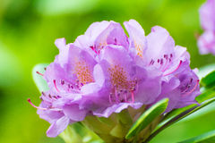 Rhododendron flower. Beautiful Rhododendron tree blossoms spring garden background Stock Photography