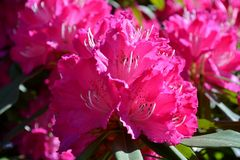 Rhododendron flower blossoming in Bellagio in spring. Royalty Free Stock Images