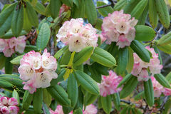 Rhododendron flower Stock Images
