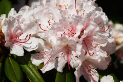 Rhododendron flower Stock Image