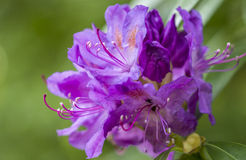 Rhododendron flower. Close up of a purple rhododendron Royalty Free Stock Photos