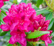 Rhododendron flower. Stock Photos