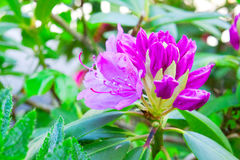 Rhododendron flower. Stock Image