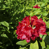 Rhododendron flower. Square image of a red Rhododendron flower in a garden Stock Images