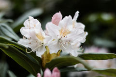 Rhododendron flower. White rhododendron flower with green leaves Stock Image