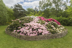 Rhododendron flowerbed, Isabella Plantation, Richmond Park Royalty Free Stock Photography
