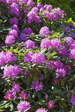 Rhododendron flowers stock image