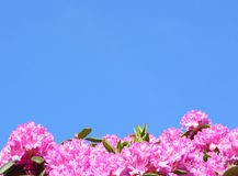 Rhododendron flowers. Pink and purple Rhododendron flowers and blue sky Stock Photo