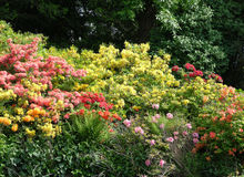 Rhododendron flowers. Bright Rhododendron flowers in a shady park Stock Photo