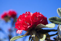 Rhododendron flowers Royalty Free Stock Photos